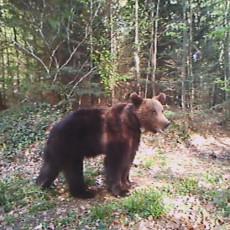 DRAMA NA GOLIJI! Dalibor se na radnom mestu susreo oči u oči sa medvedom: Trčao sam koliko me noge nose! (FOTO)