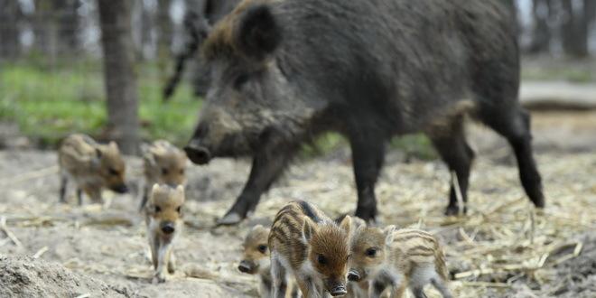 Danska podiže ogradu prema Nemačkoj zbog svinjske groznice