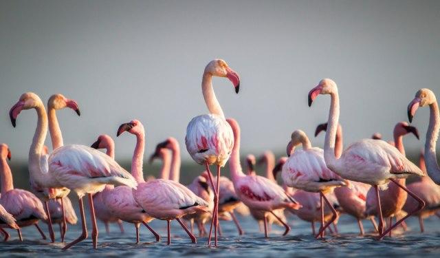 Desetine flaminga uginule od trovanja olovom iz sačme