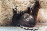 Devet majmuna primilo vakcinu protiv korone