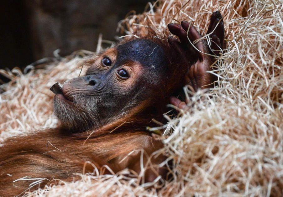Devet majmuna vakcinisano protiv koronavirusa