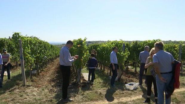 Diplomate beru grožđe u srcu Šumadije