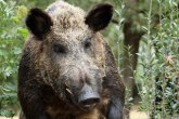 Divlje svinje opljačkale ženu VIDEO