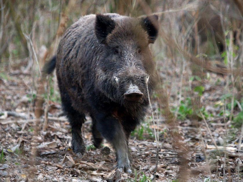 Divlje svinje terorišu Rim, opljačkale ženu