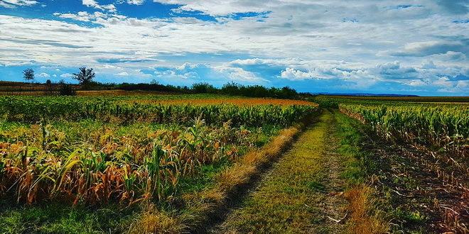 Dobar prinos kukuruza, ratari očekuju oko 18 dinara po kilogramu