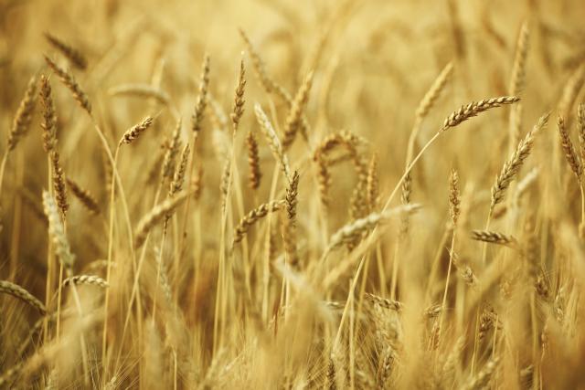 Dobra cena, ali pšenica čeka snežni pokrivač