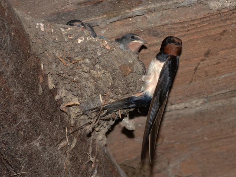 Domaćini broje gnezda lasta i mogu da dobiju tonu kukuruza