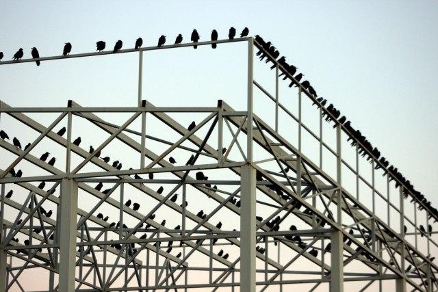 Došle da prezime: Stiglo 10.000 vrana u dolinu Velike Morave