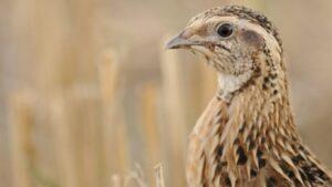 Društvo za zaštitu i proučavanje ptica: Treba sprečiti uništavanje prepelica