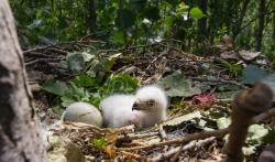 Društvo za zaštitu ptica: Orlovi krstaši se vraćaju u Srbiju