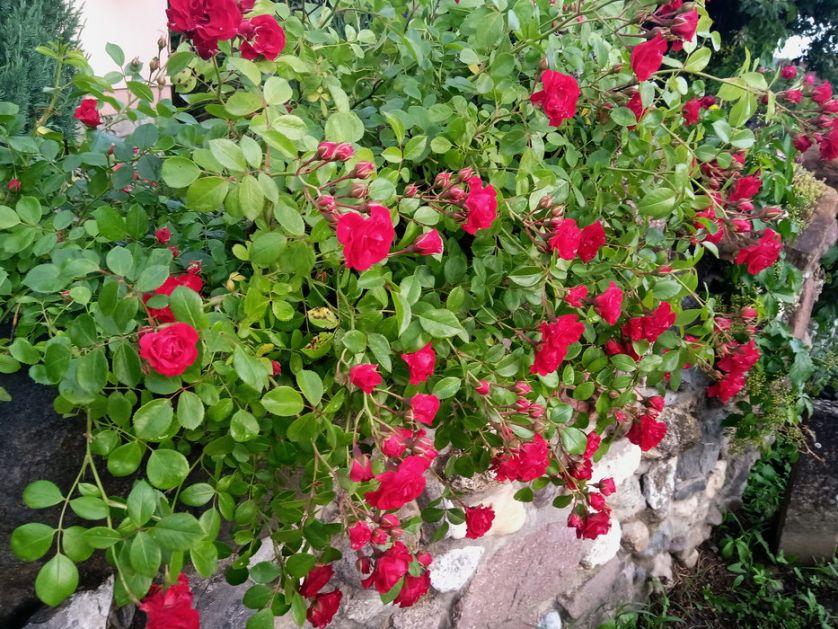 Duga tradicija proizvodnje rezanog cveta ruže na severu Banata