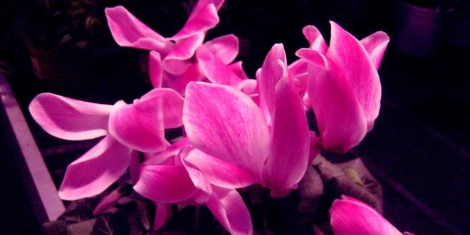Duga tradicija rasadničke proizvodnje cveća