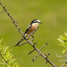 Dugorepi svracak (Lanius nubicus) - nova vrsta ptica u Srbiji