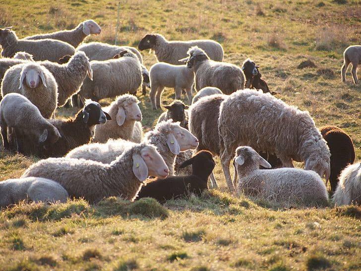 Džakulini poreznici prodali stado ovaca i dva teleta
