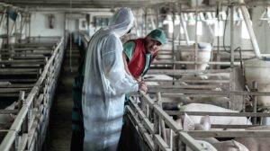 EFSA: Kampanja sprečavanja širenja afričke kuge svinja proširena na nove zemlje