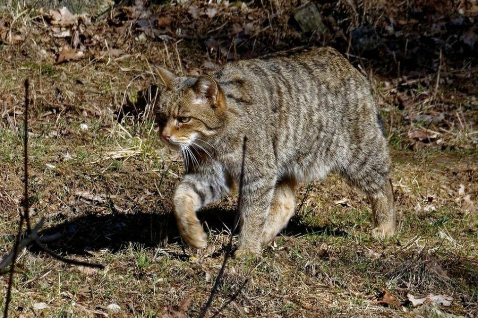 EKOSISTEM SE OPORAVLJA? Posle nekoliko vekova, divlje mačke ponovo lutaju Holandijom