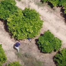 FILMSKA POTERA KROZ POLJE POMORANDŽI: Kriminalac se dao u beg kada je iznenada upala policija (VIDEO)