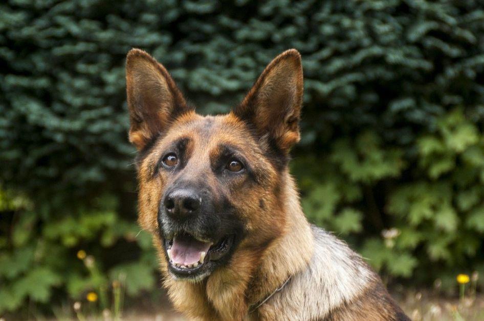 Finska: Psi mogu da nanjuše obolele od korone, identični rezultati kao PCR testovi