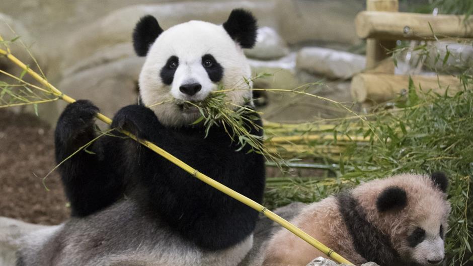 Francuska beba panda imala svoj prvi javni nastup