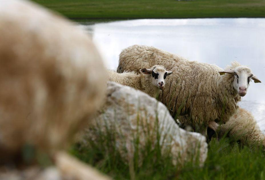 GROM POBIO 17 ovaca i jagnjadi!