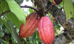 Gardijan: Industrija čokolade uništava šume na zapadu Afrike