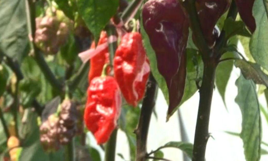 Gde rastu najljuće paprike u svetu?