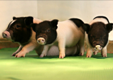 Genetski modifikovane svinje će biti donori organa ljudima?