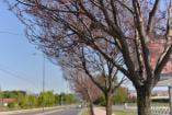 Gusenice ponovo na krošnjama drveća na Bulevaru Nikole Tesle u Nišu