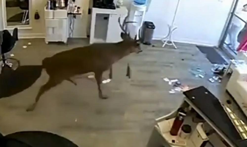 HAOS U FRIZERSKOM SALONU: Jelen uleteo u objekat, preskočio ženu i počeo izbezumljeno da trči! Nastala je panika, kamere snimile sve! (VIDEO)