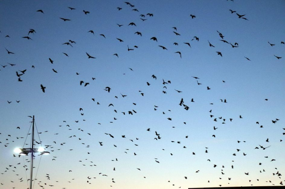 Hičkok u Pomoravlju: Vrane prekrile nebo