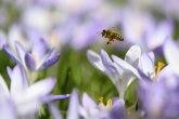 Holanđani obučili pčele da nanjuše koronu