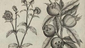 Hrana i istorija: Mušmule – zaboravljeno srednjovekovno voće nepristojnog imena