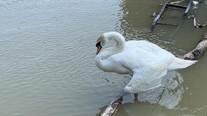 I u dobru i u zlu: Porodica labudova sa Save čeka da se mama oporavi