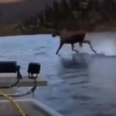 INTERNET ZINUO OD ČUDA! Los trči po površini vode, protrčao tik pored čamca! (VIDEO)