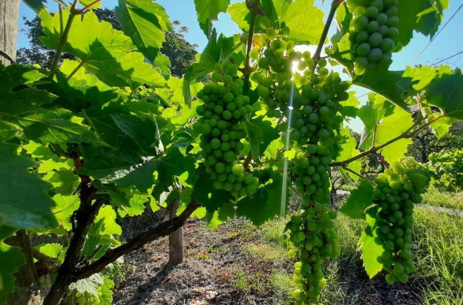 Irig dobro pregurao gradonosni period, kada su u pitanju vinogradi (AUDIO)