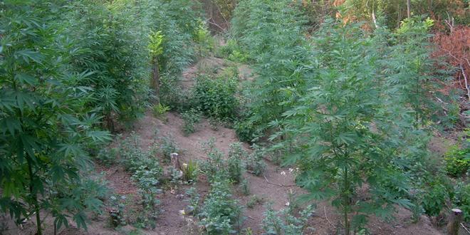 Istorijska odluka UN: Kanabis više nije opasna droga