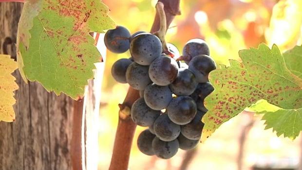 Izvoz prokupčevih vina na više kontinenata