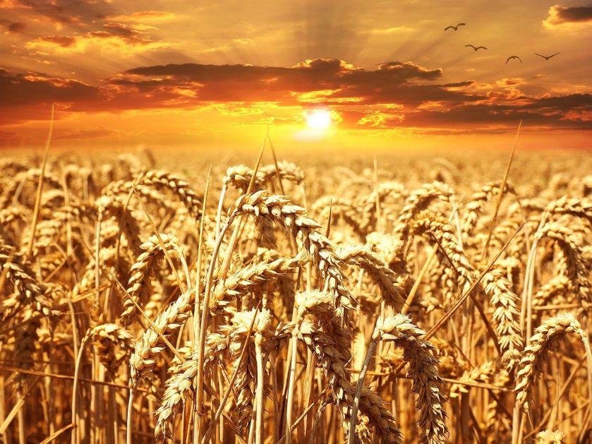 Izvoz žitarica povećan gotovo za 100 odsto