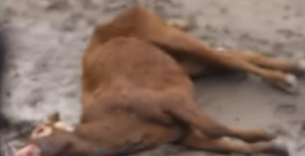 JEZIVI ZLOČINI KOJI TRAJU VIŠE OD 4 DECENIJE: Farmeri pronalaze tela osakaćene stoke, bez kapi krvi i genitalija! Sumnjaju na SATANISTE (VIDEO)