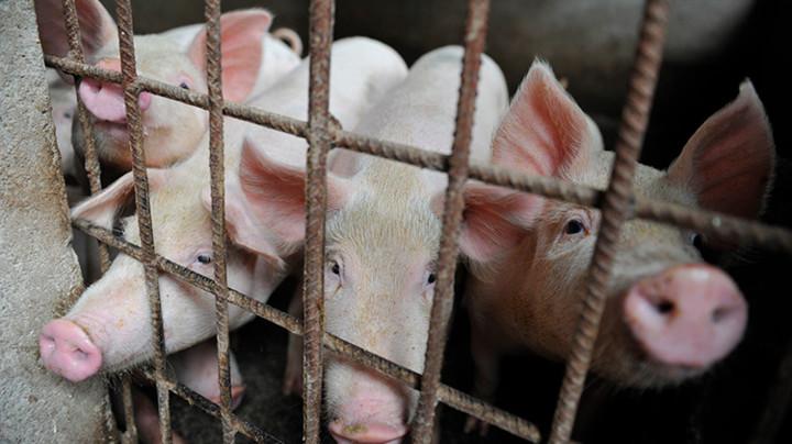 Japan zbog svinjske kuge usmrtio 753 svinje