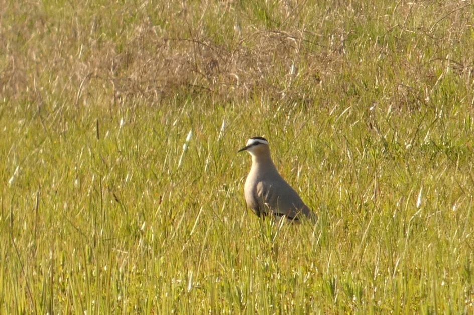 Jedinstveno ornitološko otkriće, stepski vivak prvi put zabeležen u Srbiji