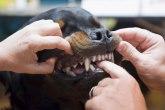 Još jedan slučaj napada rotvajlera - koliko su opasni? Većina ih uzima iz kompleksa