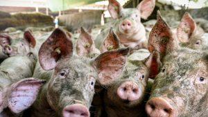 Južne vesti: Epidemija afričke kuge i dalje na snazi, pogubljeno oko 1.000 svinja od početka godine
