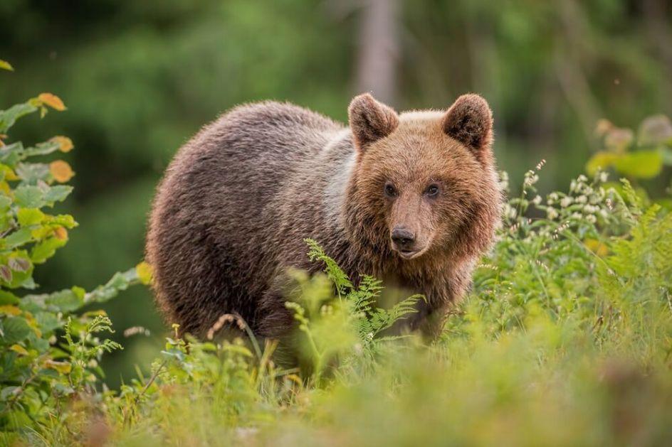 KIDAO MU JE I GLODAO TELO Jeziva ispovest kampera koji su gledali kako im prijatelja u nacionalnom parku u Rusiji JEDE MEDVED