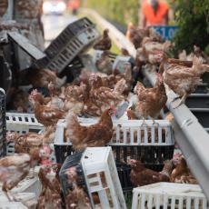 KORONA HARA, A PTIČIJI GRIP KUCA NA VRATA: Preti nam nova katastrofa, biće uništeno 29.000 kokošaka