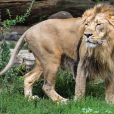 KORONA U INDIJI KOSI SVE PRED SOBOM: Na udaru i životinje u zoološkom vrtu, nekoliko lavova zaraženo