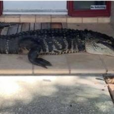 KRENULI NAPOLJE, PA UGLEDALI ZVER NA KUĆNOM PRAGU! Aligator dug tri metra BEZ PREDNJE NOGE tražio sklonište (FOTO)