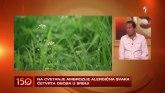 Kako razlikovati simptome kovida od alergije na ambroziju VIDEO