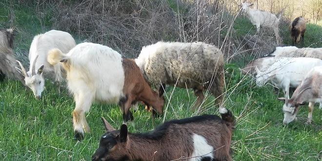 Kako sprečiti virusno obolenje kod koza?