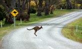 Kengur bez dozvole šeta po Austriji